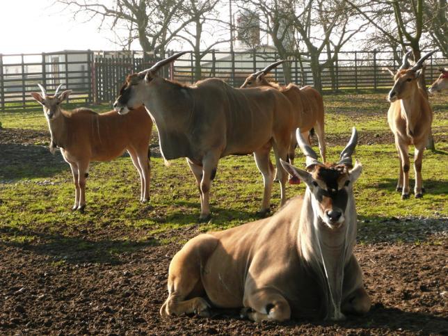 Famový chov antilopy losí v Lánech - pod záštitou FTZ