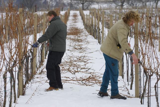 Vinaři při řezu révy vinné