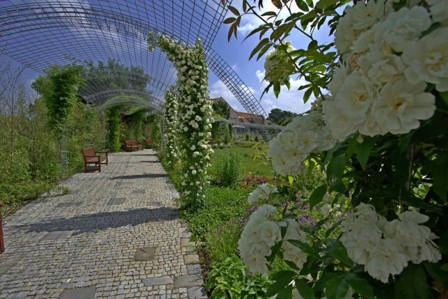 Kvetoucí růže v Akademické zahradě